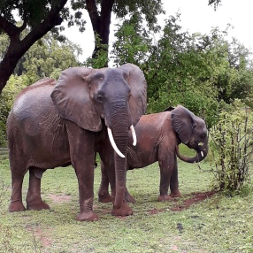 Mother Elephant and young throwing dirt on their backs to cool.