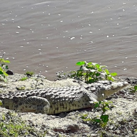 Spot the Croc! A well camouflaged Nile Crocodile.