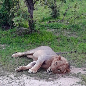 This Lion is fat from a recent kill. A lone male sent away from the pride.